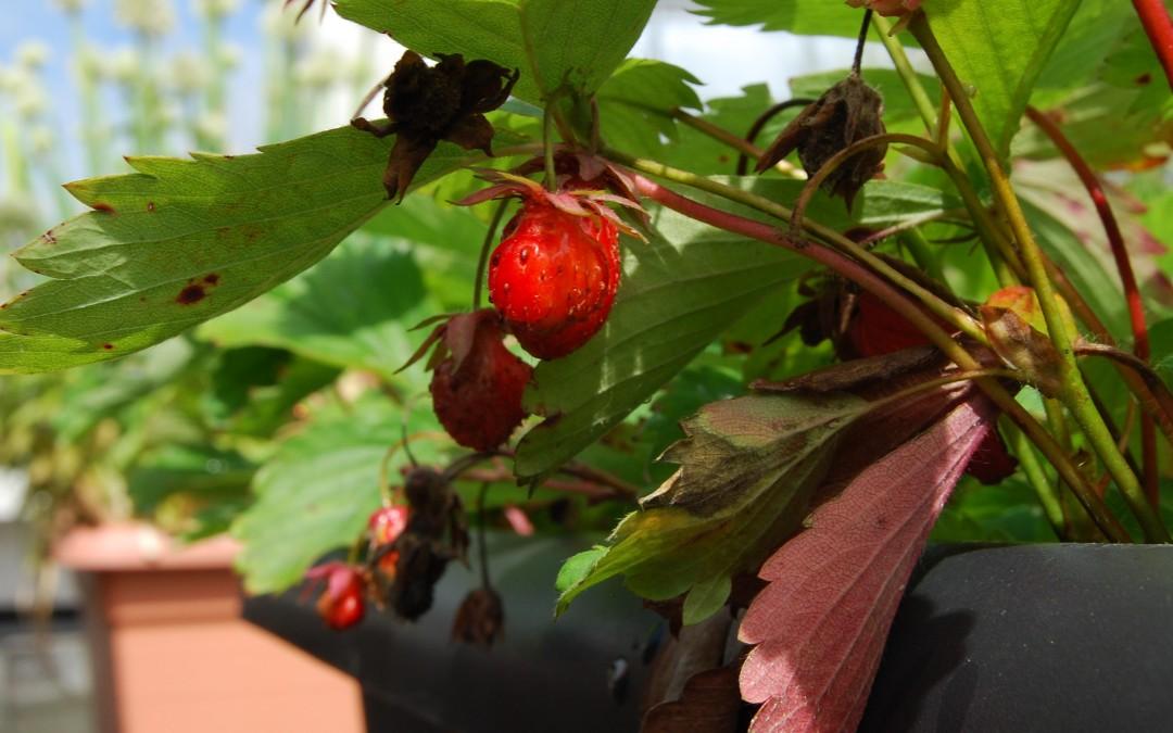 Šola, na kateri rastejo jagode